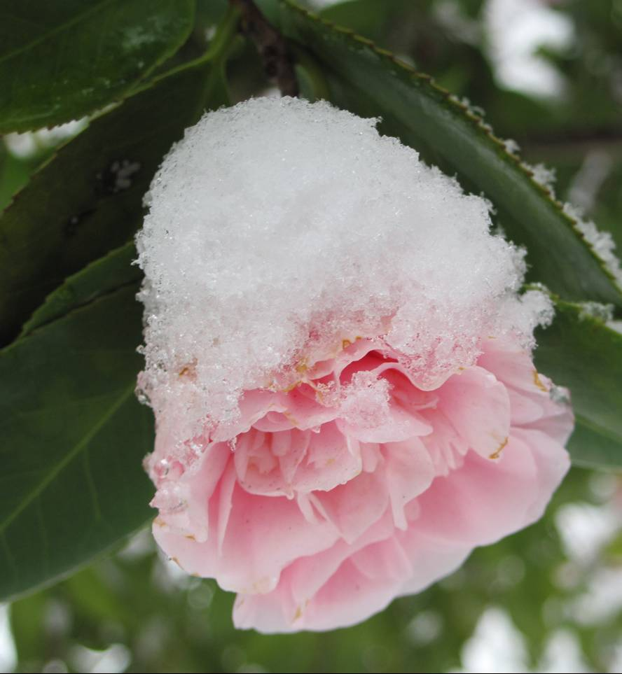 snow_camellia3