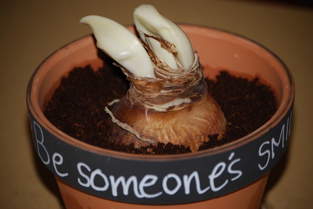 Amaryllis bulb plant - Therapeutic Horticulture activity