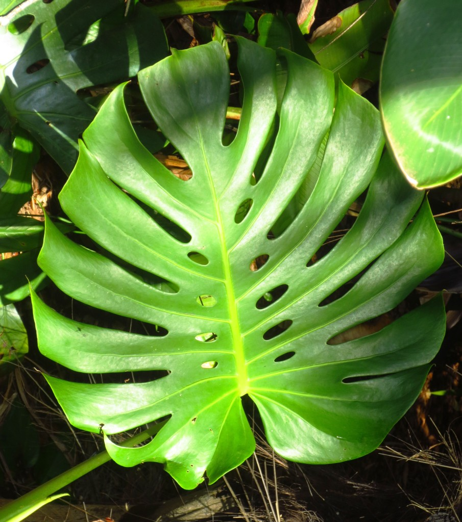 LFlemingPhilodendron