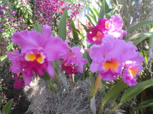 Rhyncholaeliocattleya Donna Kimura 'Paradise Tami' eatbreathegarden