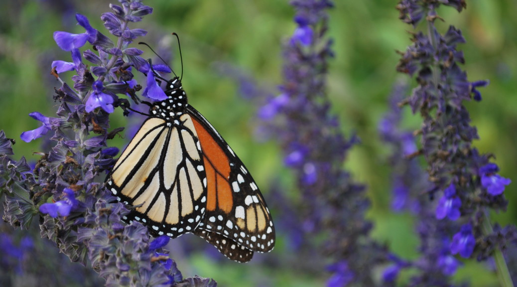 eatbreathegarden_pollinator_monarch
