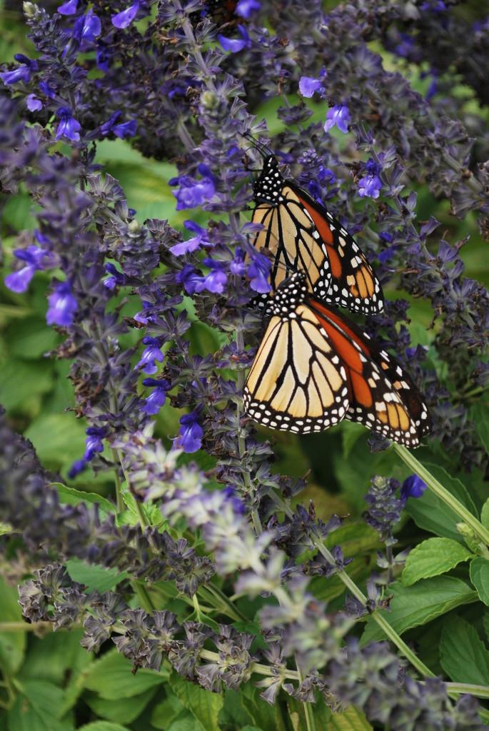 eatbreathegarden_pollinator_monarch