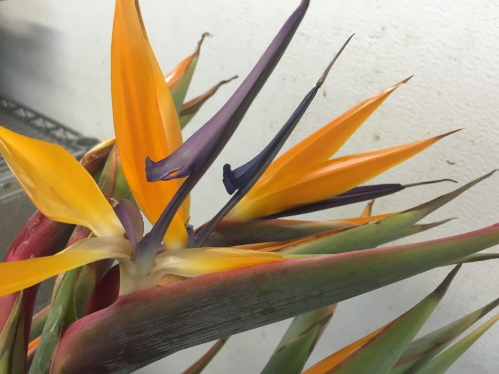 bird-of-paradise_eatbreathegarden